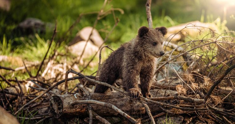 Wilde Bären im Shiretoko Nationalpark in Japan
